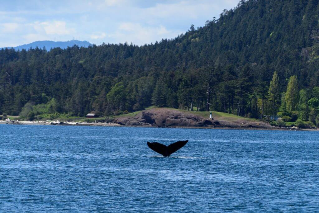 Photo of San Juan Islands whale watching cruise on the San Juan Excursion Boat Trip, which is a fun thing to do in San Juan Island with kids #whalewatching #whalewatchingtour #whalewatchingcruise #washingtonstate #pnw #sanjuanisland #sanjuanislands #fridayharbor