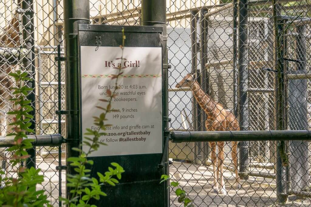 Baby Giraffe at Woodland Park Zoo in Seattle