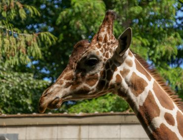 Giraffe at Woodland Park Zoo in Seattle
