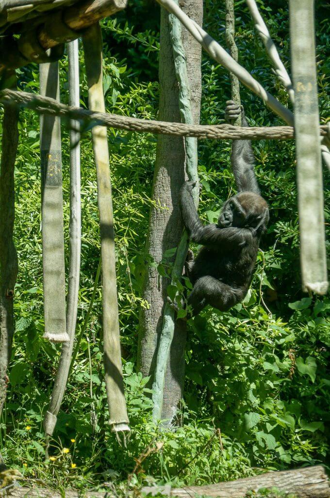 Baby Gorilla at Woodland Park Zoo