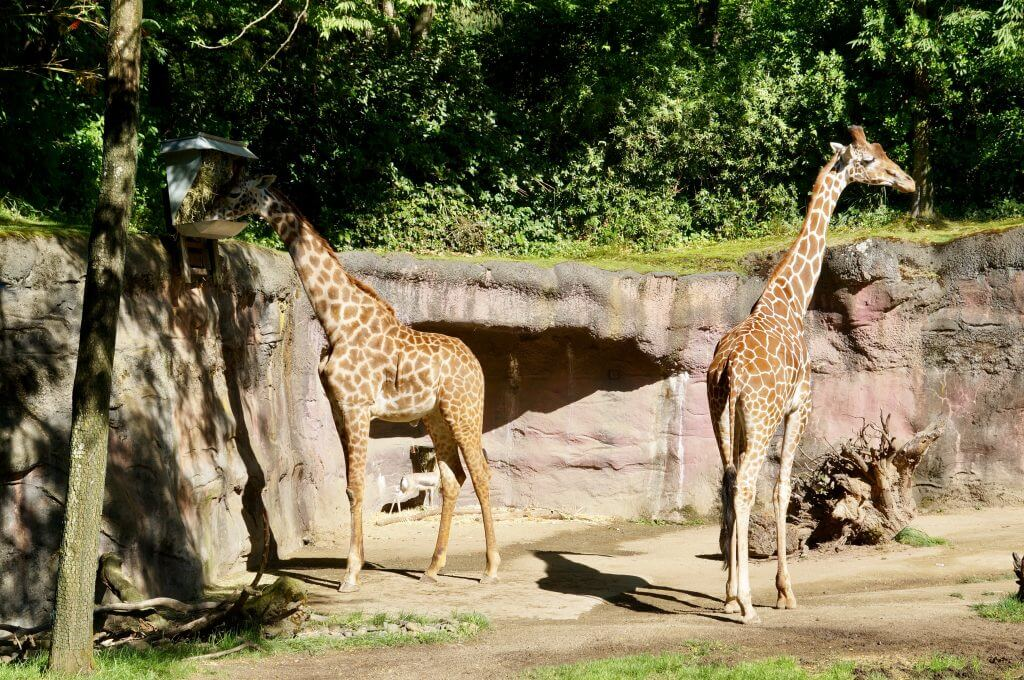 Giraffes at Oregon Zoo in Portland, OR