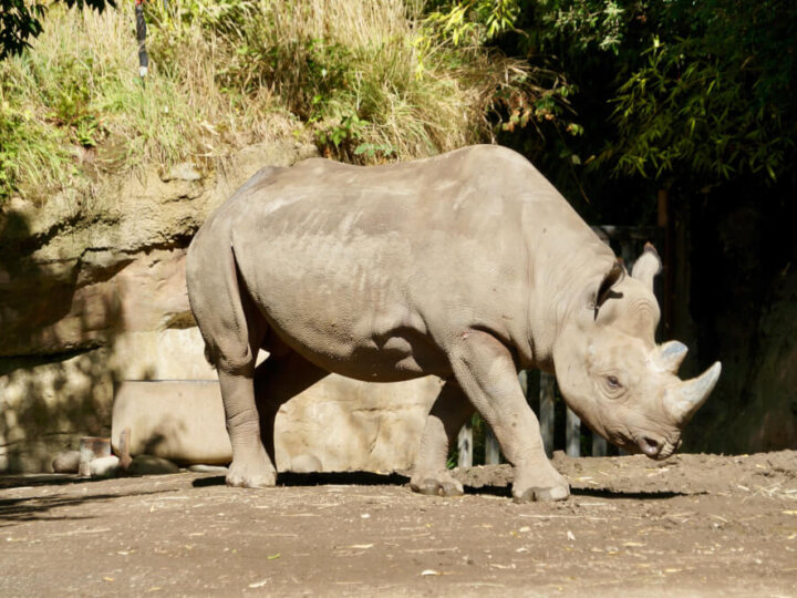 Oregon Zoo Rhino in Portland, OR