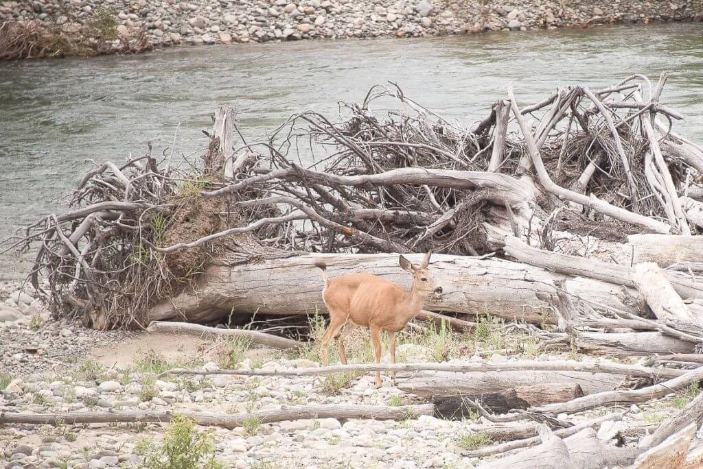 Photo of a deer next to a river, which was the view from the Hotel Rio Vista in Winthrop, WA, a wild west town in Eastern Washington State #deer #winthrop #winthropwa #hotelriovista #easternwashington #weekendgetaway