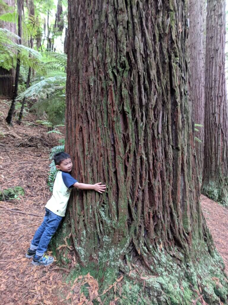 Photo of a boy hugging a tree at the Redwoods & Whakarewarewa Forest in Rotorua, New Zealand near Auckland. #whakarewarewa #redwoods #auckland #newzealand