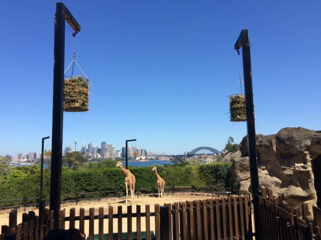 Photo of the giraffes at Taronga Zoo in Sydney Australia #australia #sydney #tarongazoo
