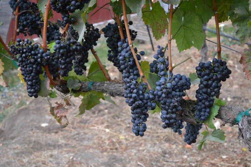 Photo of grapes at a winery in Prosser, Washington State | weekend getaways washington state