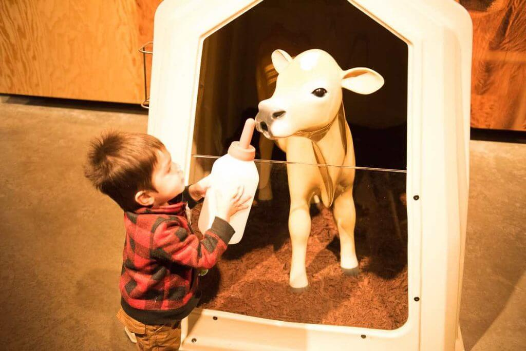 Photo of a toddler feeding a display calf water at the Tillamook Creamery in Oregon #tillamook #tillamookcreamery #oregon #oregoncoast #pacificnorthwest