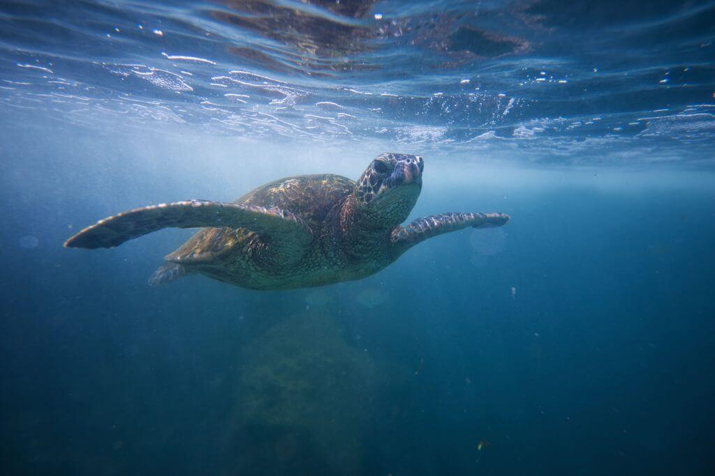 Seeing Hawaiian sea turtles is an amazing Oahu family activity.
