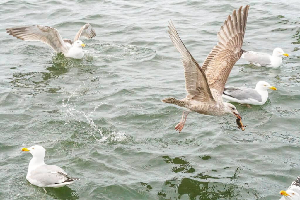 The seagulls like to hang out near the fishing boats in Casco Bay hoping to get some handouts!