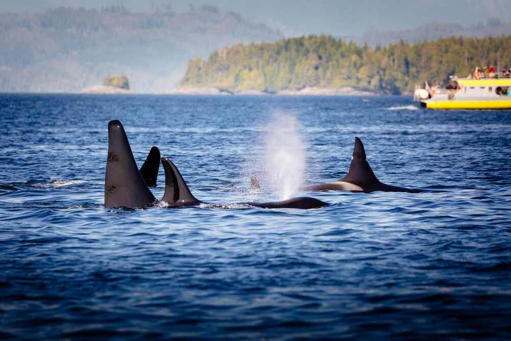 Victoria with Kids: 13 Kids Activities to Do when Visiting Victoria Canada featured by top family travel blogger, Marcie in Mommyland: Wild Killer Whale Watching at Vancouver Island, British Columbia, Canada. Broughton Archipelago