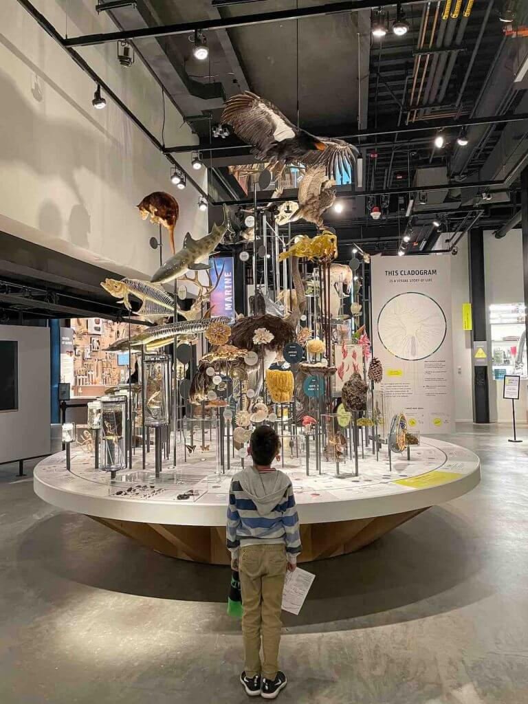 Learn all about the biology of animals at the Seattle Burke Museum. Image of a boy standing in front of a display of animal skeletons.