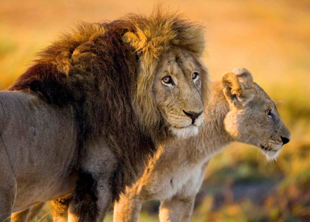 One of the easiest Earth Day activities for kids is to watch nature documentaries together. Image of two lions in the wild.