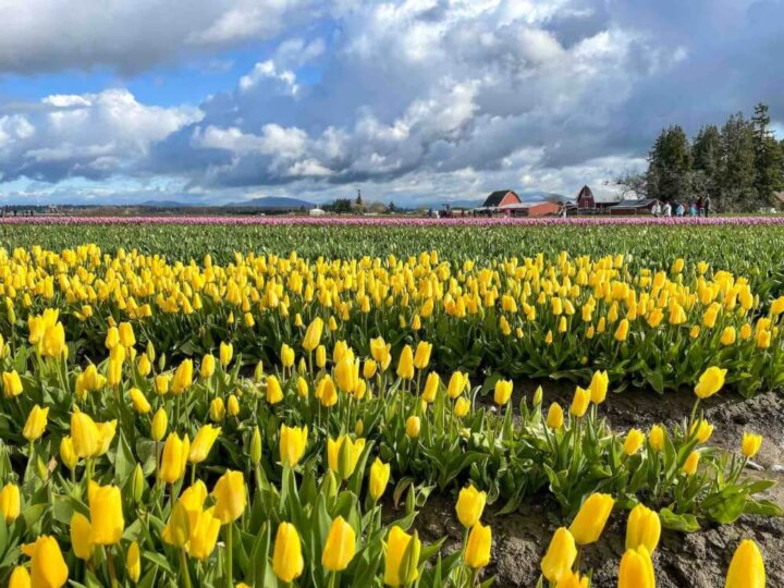 Find out whether or not to visit Tulip Town at the Skagit Valley Tulip Festival by top Seattle blog Marcie in Mommyland. Image of a field of yellow tulips at Tulip Town WA.