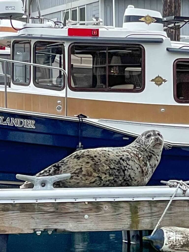 There are lots of seals in Gig Harbor Washington. Image of a seal looking at the camera while relaxing on the dock.