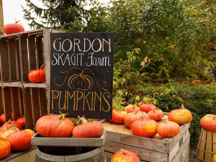 Looking for the best pumpkin patch in Washington State? Find out about Gordon Skagit Farms, a unique Washington pumpkin patch! Image of a bunch of orange pupkins with the Gordon Skagit Farms sign.