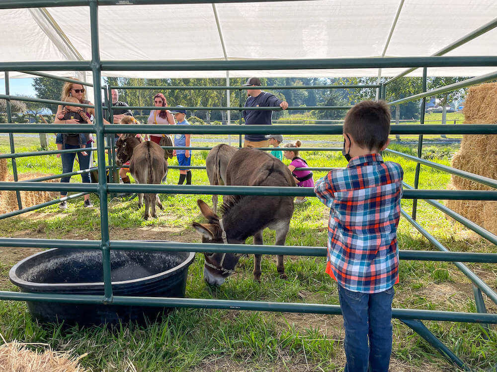 Image of a boy looking at a little donkey at the petting zoo at The Harvest at Tulip Town in Skagit Valley.