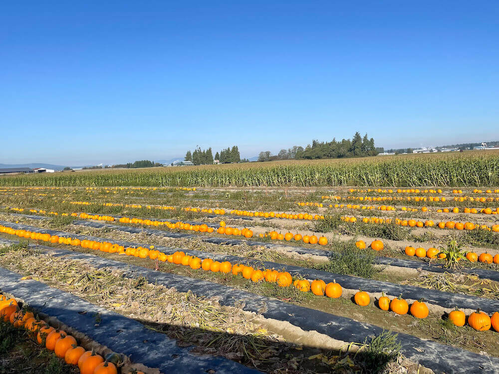 Image of a bunch of medium orange pumpkins lined up at a Skagit Valley pumpkin patch.