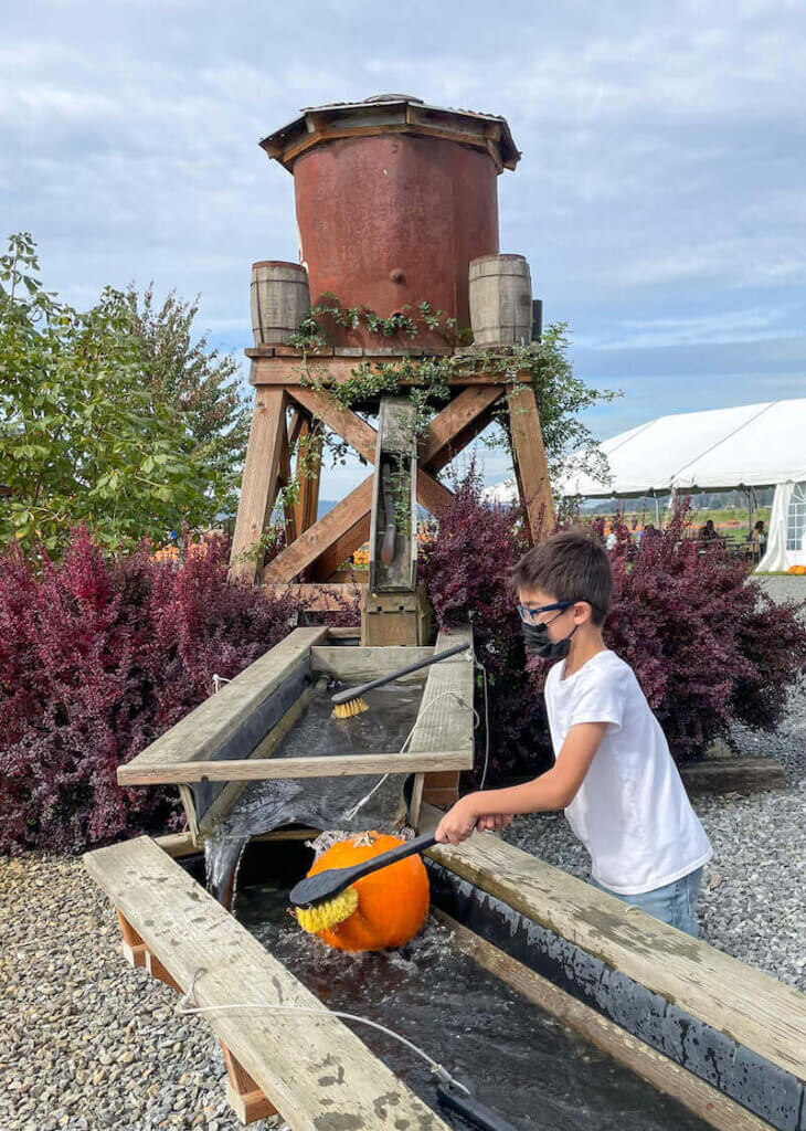 Stocker Farms in Snohomish WA has a pumpkin washing station. Image of a boy scrubbing a pumpkin in a wooden trough.