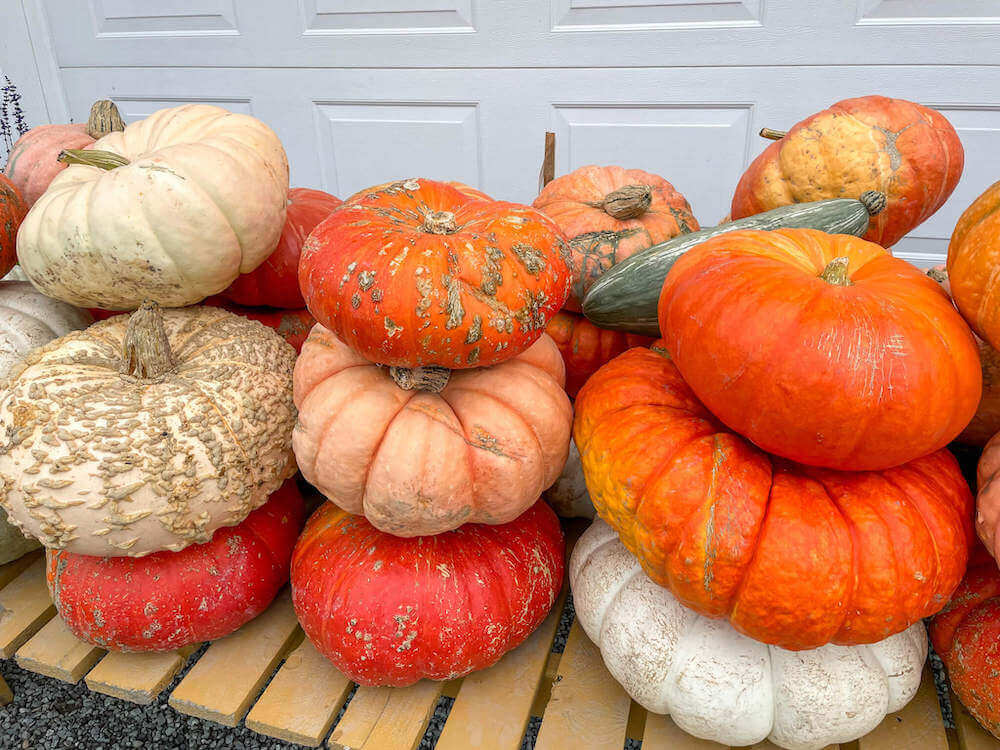 Image of a bunch of colorful pumpkins.