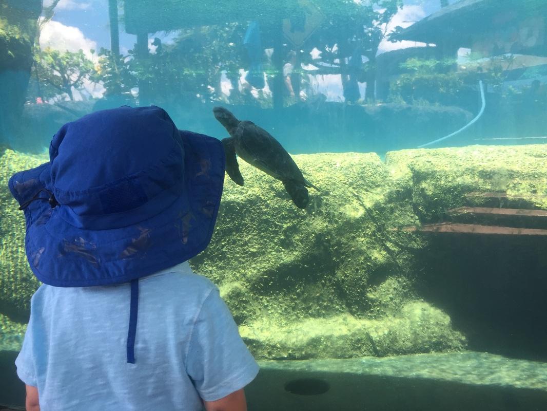 Hawaiian Sea Turtles (Honu) in the outdoor exhibit at Maui Ocean Center